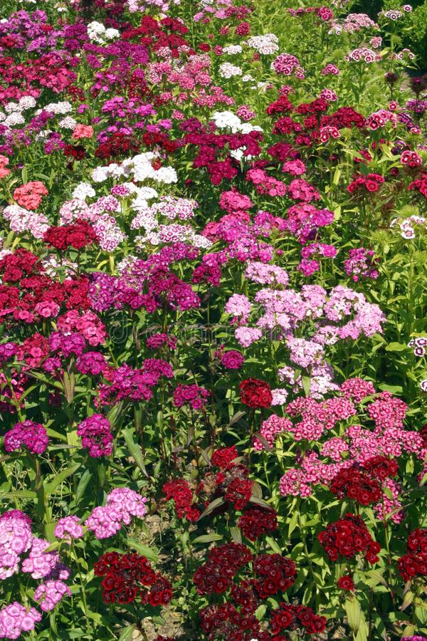 Dianthus. Full frame close up of profuse Dianthus Sweet William flowers in a garden flowerbed stock photos