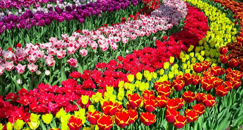 Full frame of colorful tulips stock photo