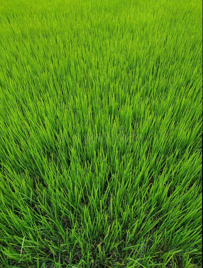 Full Frame Green Grass Lawn texture background. Top view.  royalty free stock photo