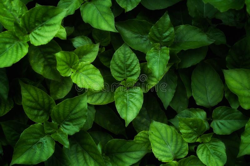 Full frame green leaves for background. royalty free stock photography