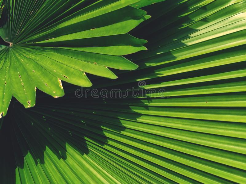 Full frame of Green palm leaf plant is beautiful background royalty free stock photo