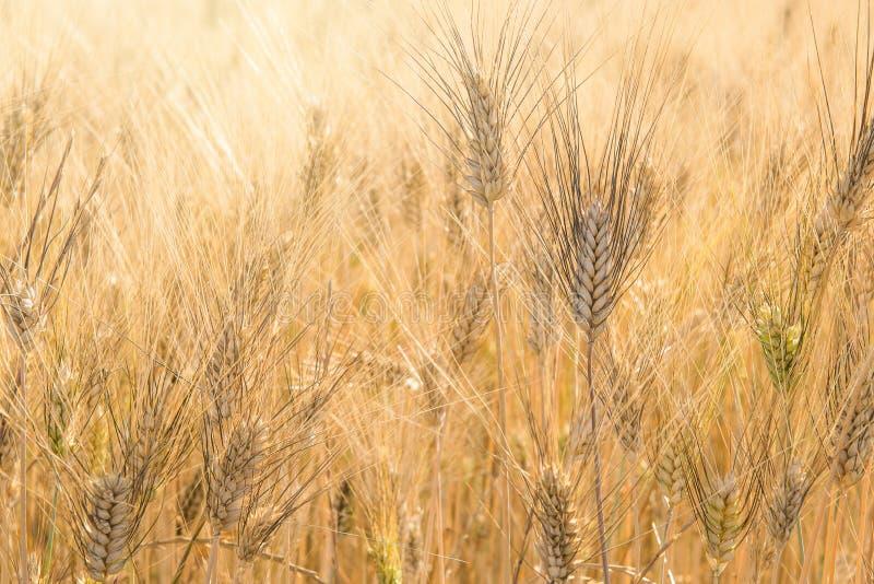 Full frame image of golden grain wheat plants ripe for harvesting royalty free stock image