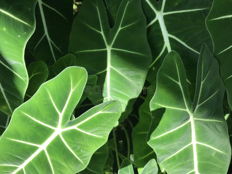 Full frame of light green leaves of elephant ear plant. In beautiful sun shine light, using for background royalty free stock photos
