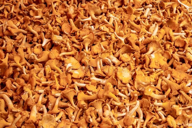 Full frame of many fresh yellow orange chanterelles. Raw food, delicious gourmet edible mushrooms. stock photo