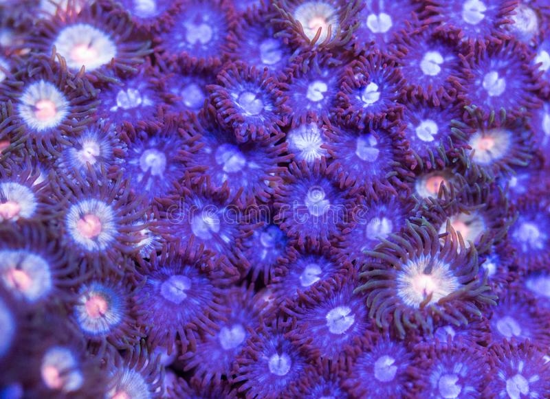 Macro pattern of zoanthid soft coral colony royalty free stock images