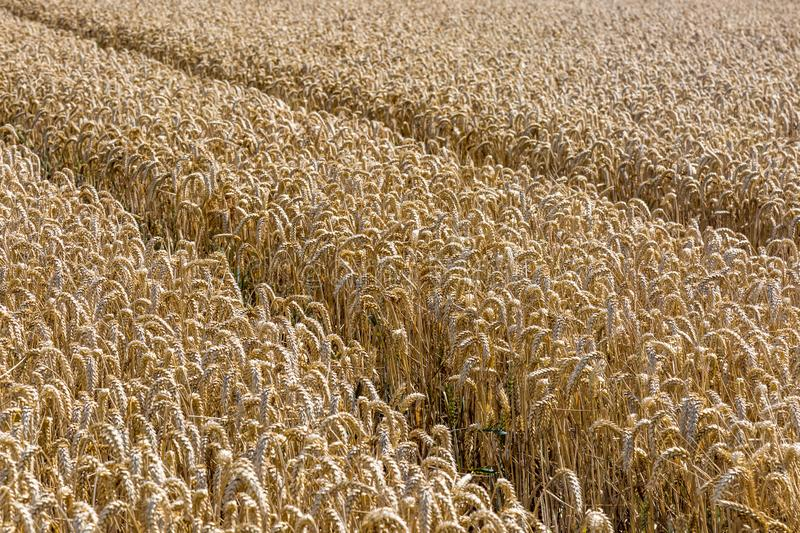 Cereal Crops royalty free stock photo