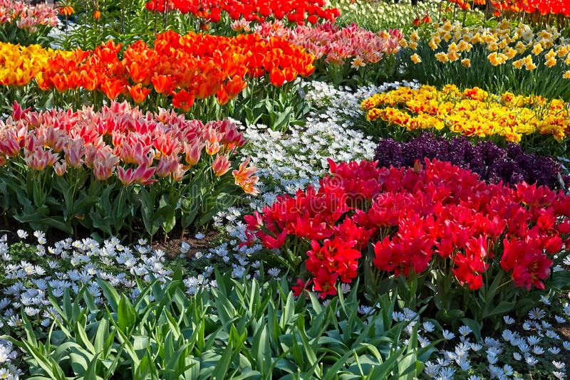 Full frame of red white orange purple tulips narcissus Fritillaria bellevalia in fool bloom in morning sun in a dutch spring in Ap. Ril 2019 stock images