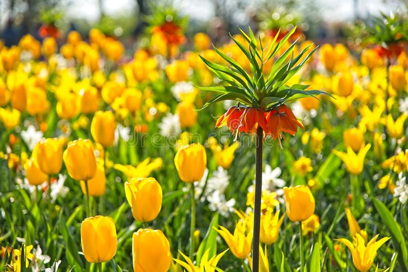 Full frame of red white orange purple tulips narcissus Fritillaria bellevalia in full bloom in morning sun in a dutch spring royalty free stock images