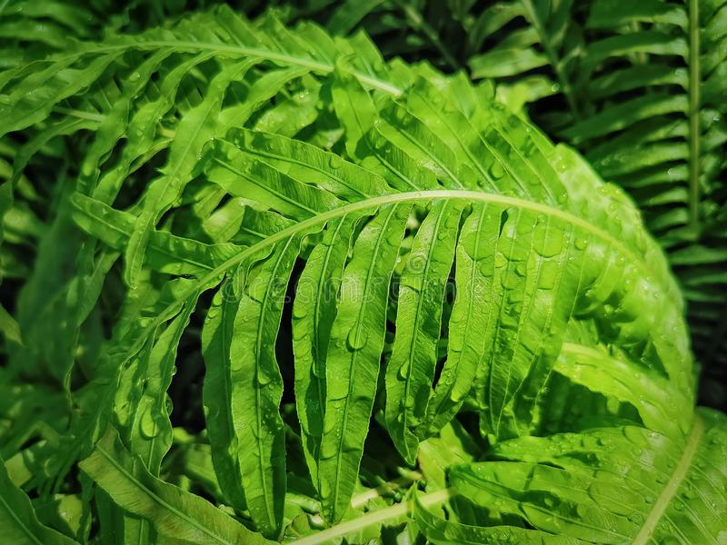 Full Frame Wet Green Fern Plant With Selective Focus. Full Frame Background of Wet Green Fern Plant With Selective Focus royalty free stock photography