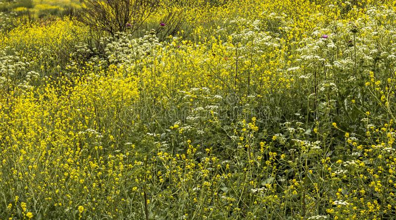 Full frame wildflowers in bright yellow cover hillside royalty free stock photos