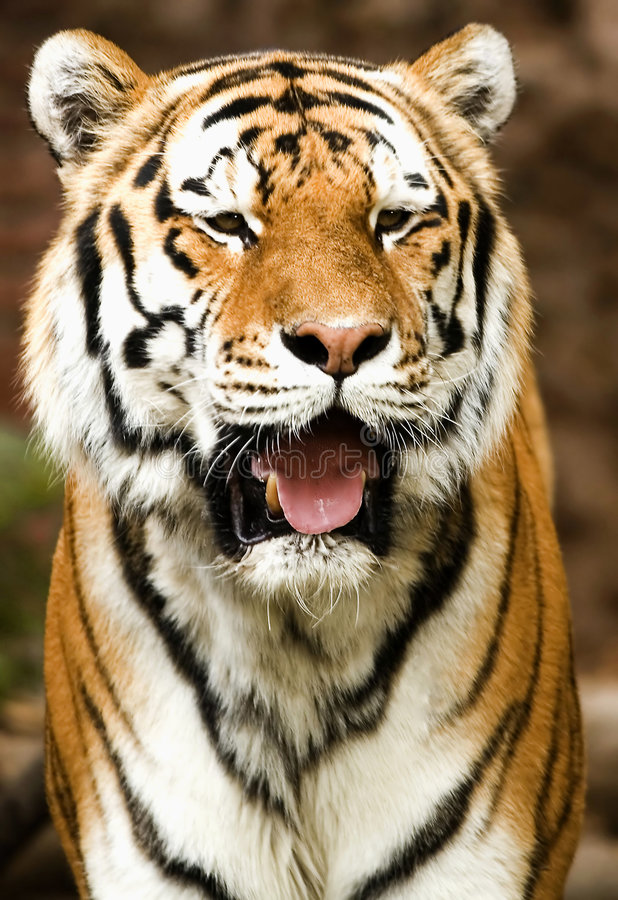Download Full Frontal Tiger stock image. Image of kitty, playing - 1370467
