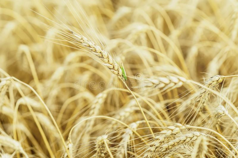 Full-grain cereal on a hot summer against a ripe rye field, wheat and green, grasshopper, selective focus, natural. Rural background royalty free stock photo
