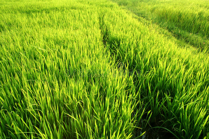 Download Full Green Rice Paddy Fields. Royalty Free Stock Photos - Image: 16666568