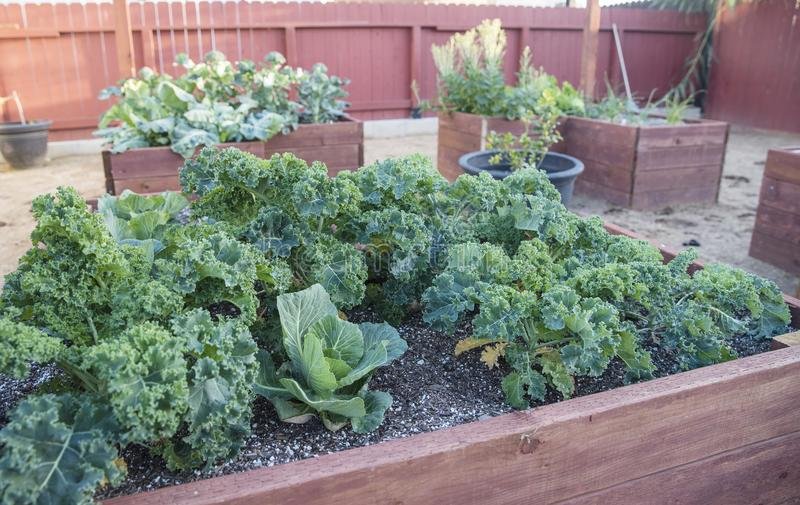 Kale plants in garden boxes stock image