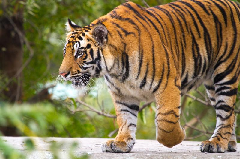 Bengal Tiger. A full grown male of Royal Bengal Tiger, India royalty free stock photography