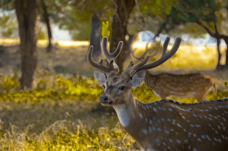 A full grown male spotted deer at Ranthambore. A full grown male spotted deer with its new antlers was    sighted when it was looking for female spotted deer royalty free stock photography