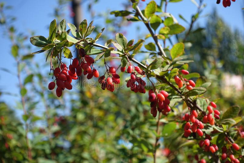 Full grown red beriies of barberry against blue sky in autumn stock images