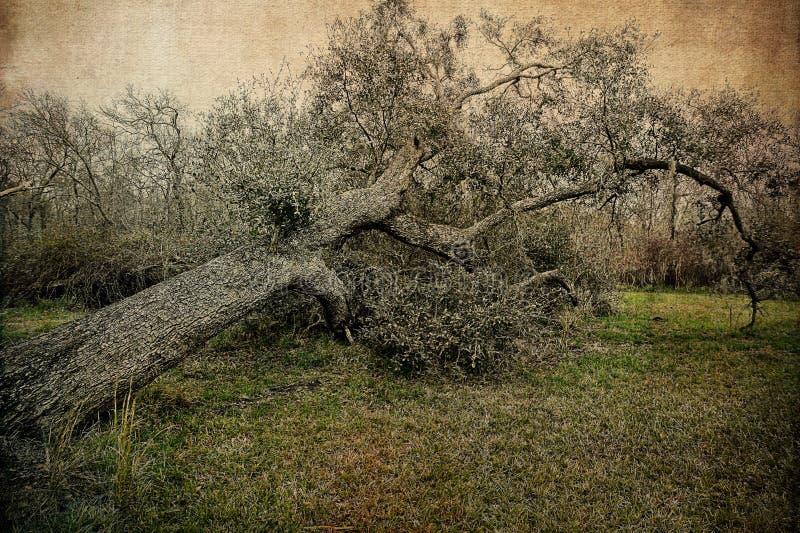 Full Grown Southern Live Oak Tree That Has Fallen stock image