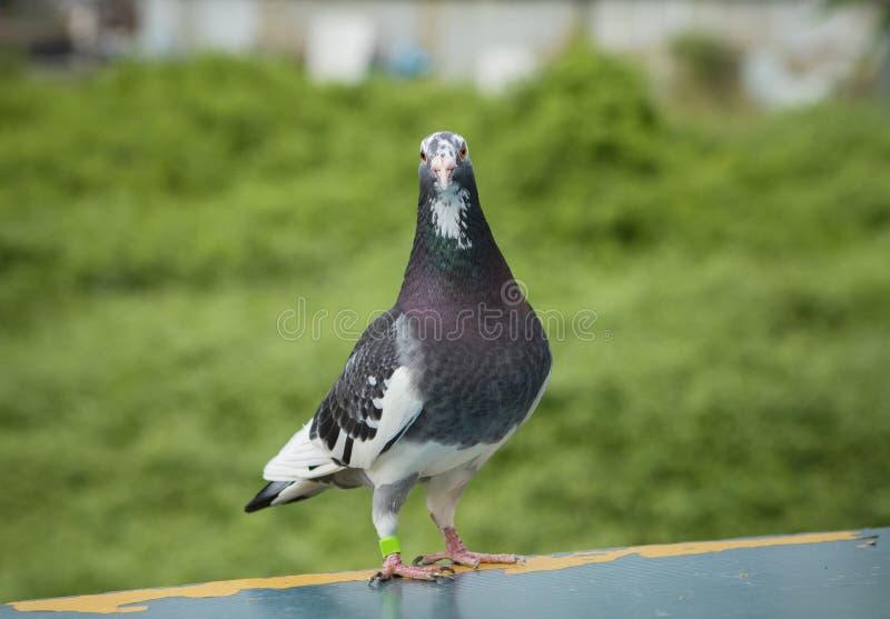 Full kropp av anseendet för fågel för springa duva för hastighet på vanlig fälla arkivbild