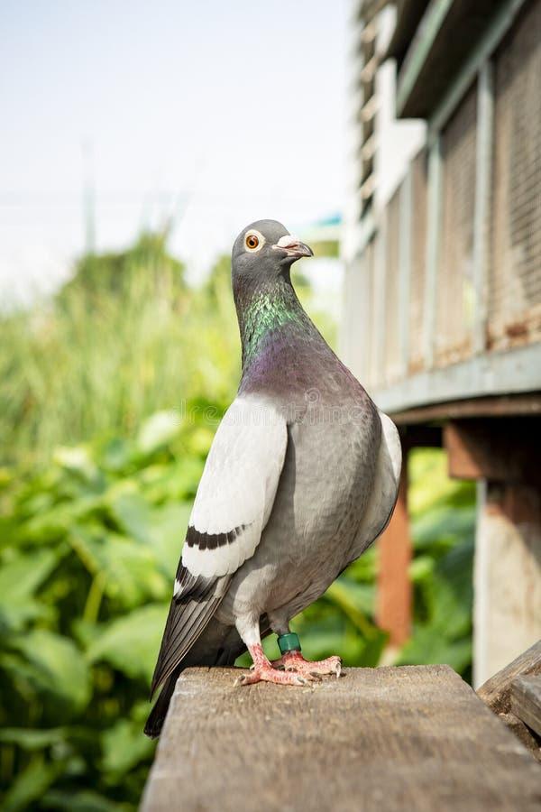 Full kropp av vinden för fågel för tävlings- duva för hastighet den hemmastadda arkivfoton