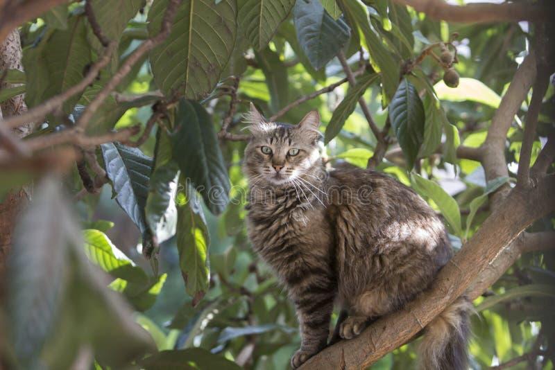 Full kroppprofilstående av en tillfällig strimmig kattkatt som sitter på ett locquatträd som stirrar på observatören royaltyfria bilder