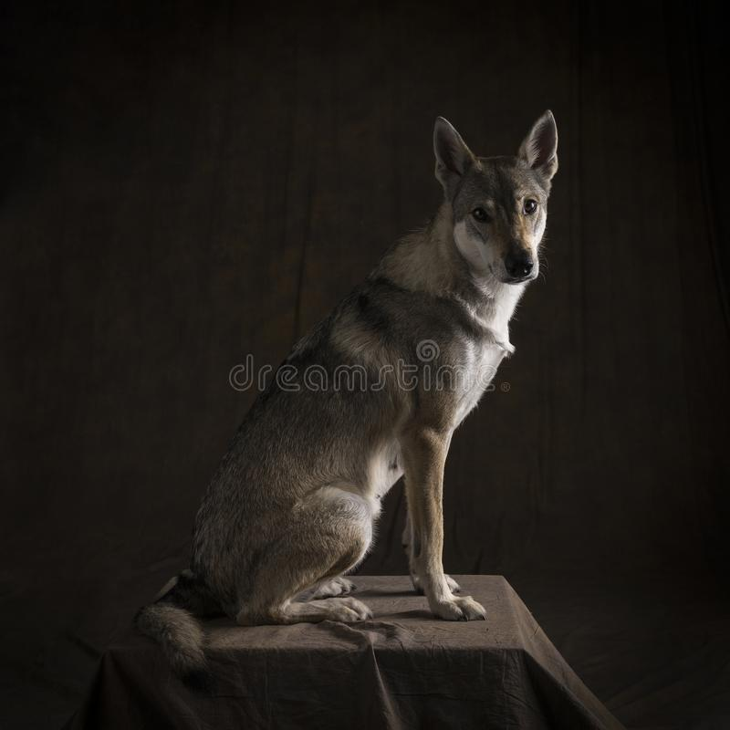 Full kroppstående av vägar för en sida för kvinnlig tamaskan hybrid- hund som sittande ser kameran på en svart bakgrund royaltyfria foton