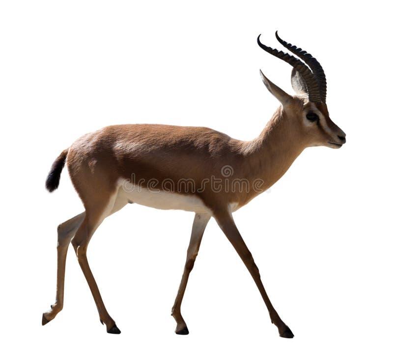 Full length of Dorcas gazelle on white background royalty free stock image