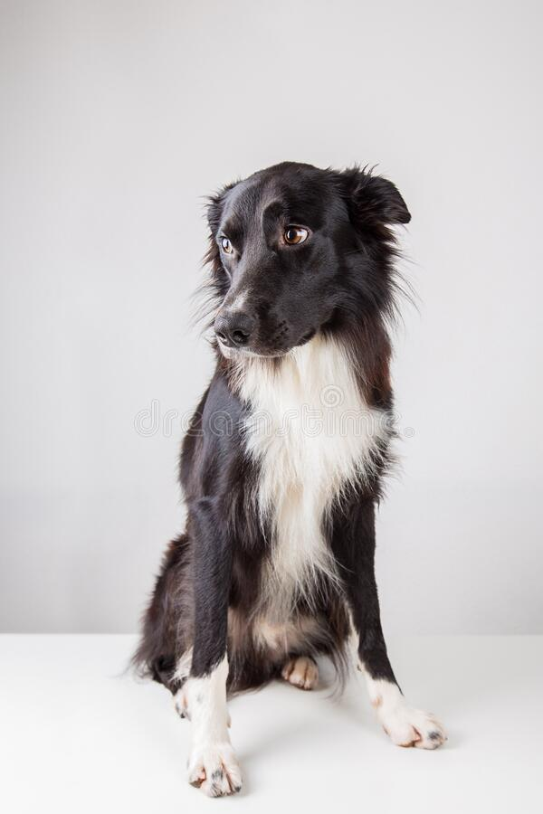 Full length portrait of an adorable purebred Border Collie looking aside isolated on grey background with copy space. Funny black royalty free stock photo