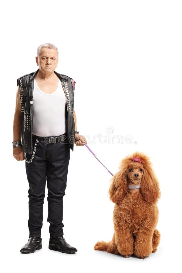 Mature punker standing with a groomed red poodle dog. Full length portrait of a mature punker standing with a groomed red poodle dog isolated on white background stock image