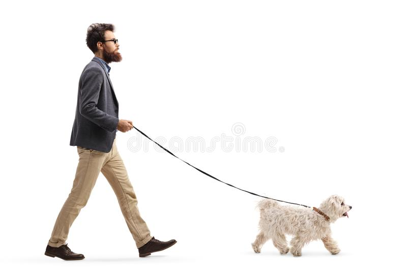 Bearded man walking a maltese poodle dog. Full length profile shot of a bearded man walking a maltese poodle dog isolated on white background stock photo