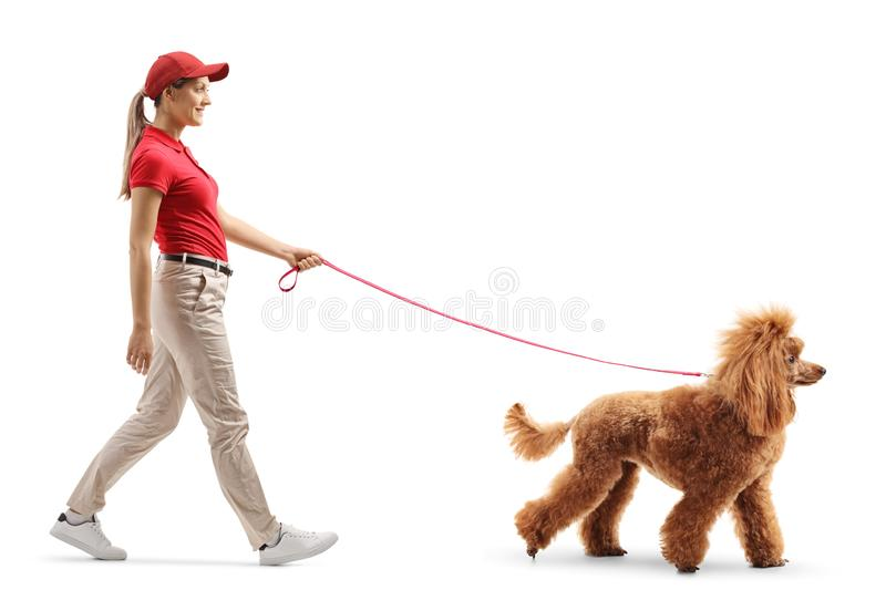 Female dog walker walking a red poodle stock photography