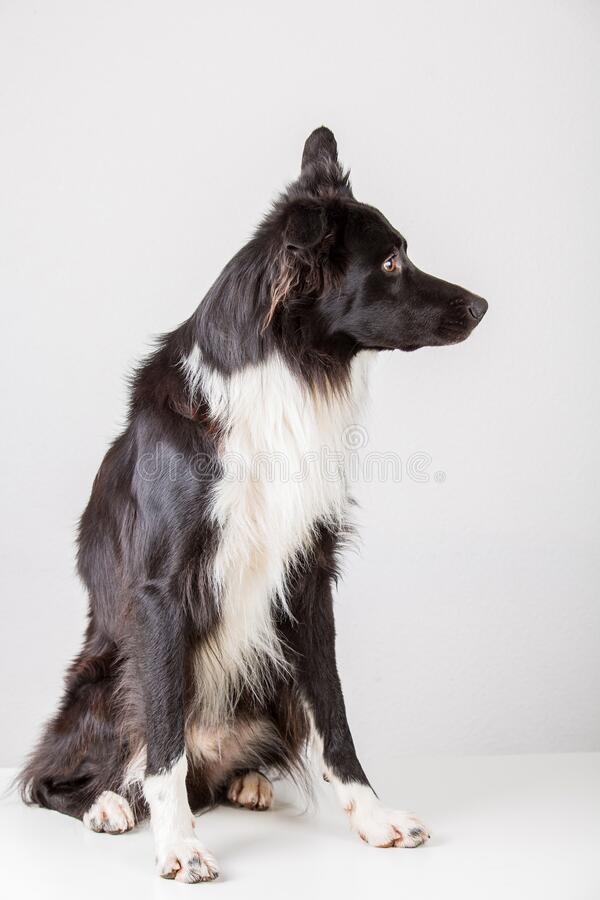 Full length side view portrait of a cute purebred Border Collie dog looking attentive isolated over grey wall background with copy royalty free stock photography