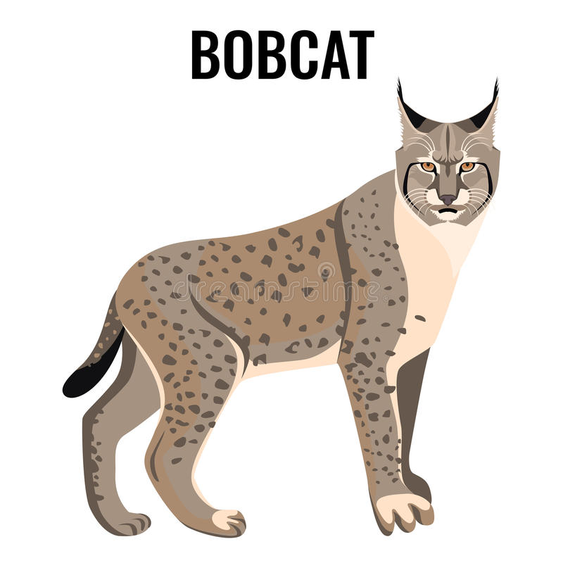 Full length spotted bobcat vector illustration isolated. Wildlife animal cat vector illustration