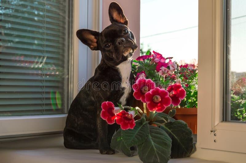 Full liten tillväxtsvart, ung fransk bulldogg, husdjur, hund Aktiv, royaltyfri fotografi