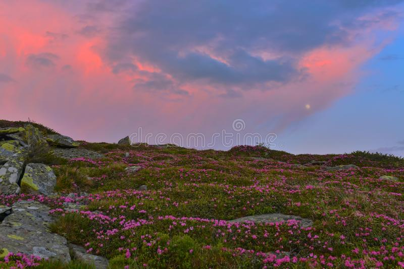Full moon and blooming pink rhododendron at twilight. royalty free stock images