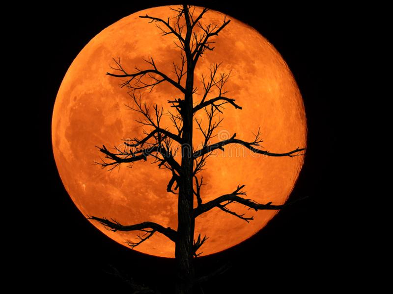 Full Moon with Dead Plant. Full moon with silhouette of Dead Plant royalty free stock image