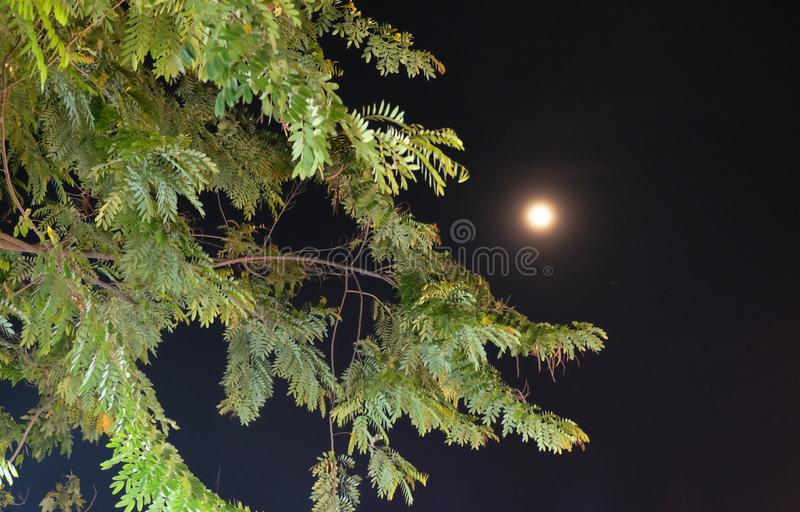 A full moon emits light in the night sky. Moonlight shines through the branches of a tree.  stock image