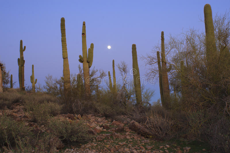 Full moon over desert. A full moon rising over a stand of saguaro cacti royalty free stock photography