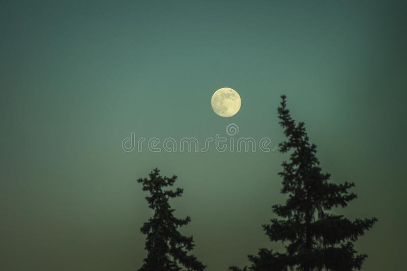 Full moon over the tops of pine trees. Beautiful nightly witching landscape royalty free stock photography