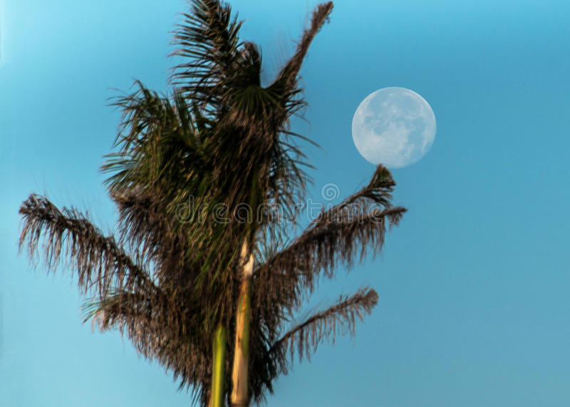Full Moon Palm Tree Blue Sky. Full moon in the morning on top of palm tree, blue skies royalty free stock image