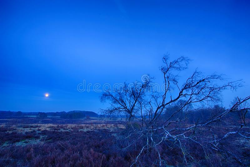 Blue moon rising. Full moon in a radiant blue sky framed with a fallen barren tree and heather in the foreground