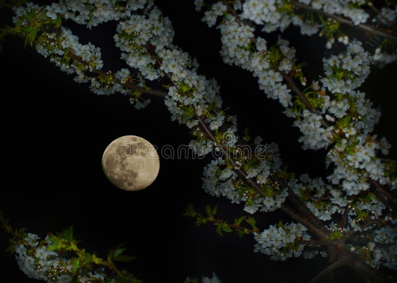 Full moon under tree branches royalty free stock image