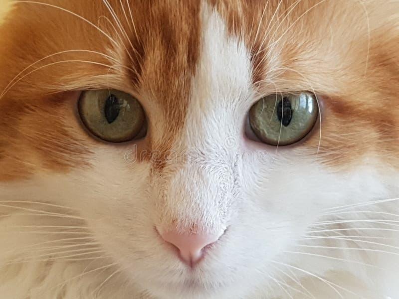 Full of muzzle cat royalty free stock photos