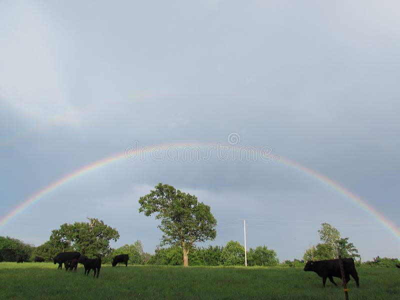 Full Rainbow Over Green Pasture and Several Black Cattle stock image