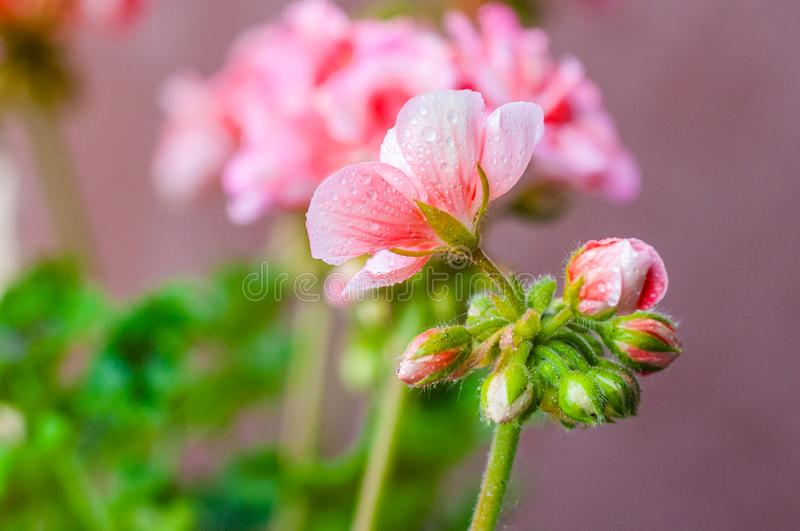 Full of raindrops vibrant red pink buds of blooming pelargonium geranium flower plant after the rain. Full of raindrops vibrant red pink buds of flowering royalty free stock photos