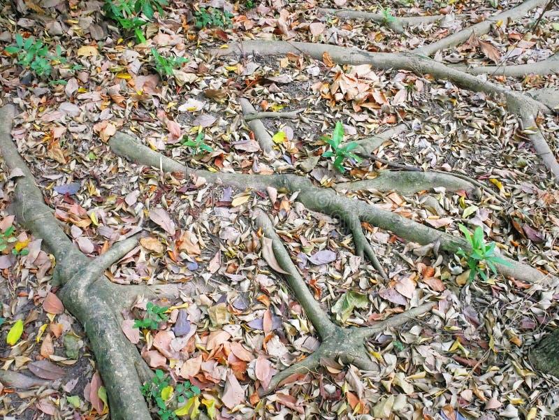 Full rambakgrund av trädet rotar på jordningen royaltyfri foto