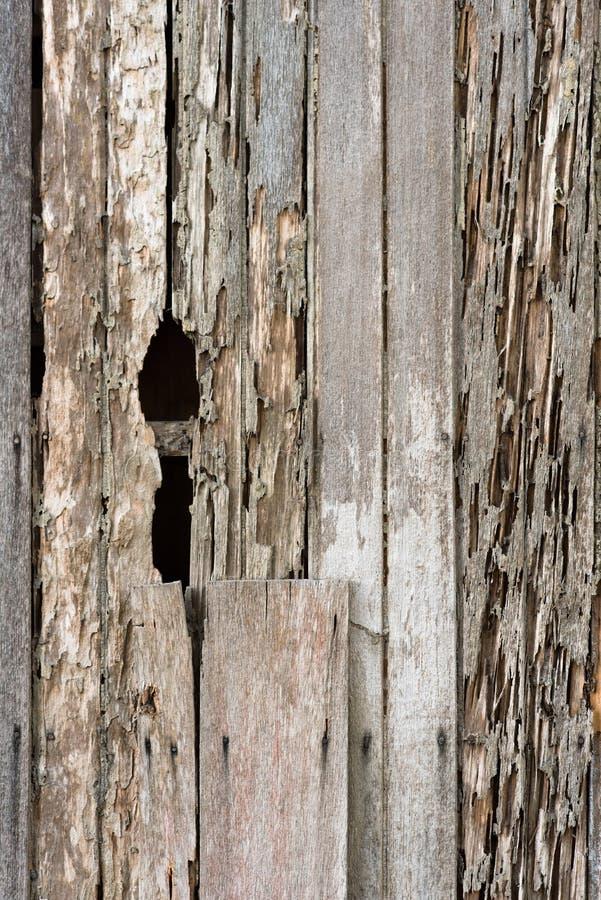 Full rambild av skadeen trähusvägg på grund av ett termitproblem royaltyfri bild