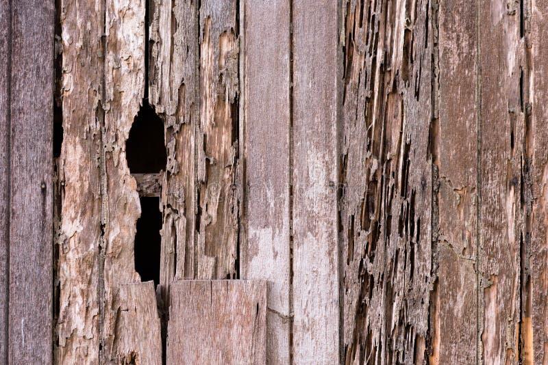 Full rambild av skadeen tr?husv?gg p? grund av ett termitproblem royaltyfria foton