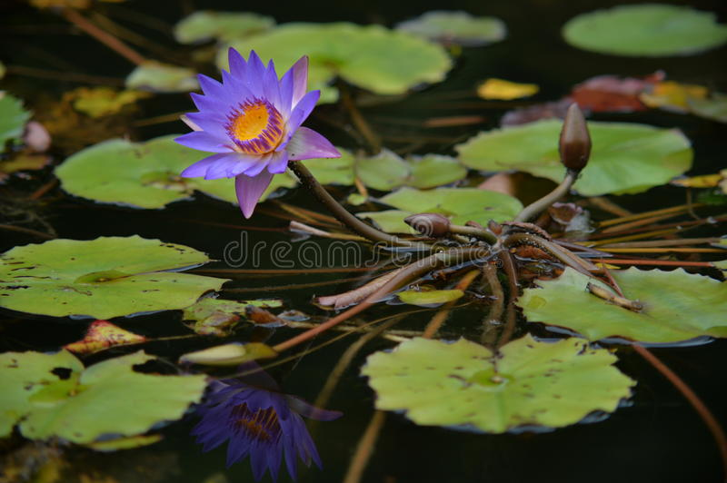 Full range look of lotus. This full frame image just shows different part of a lotus plant and it's reflection in water stock photos