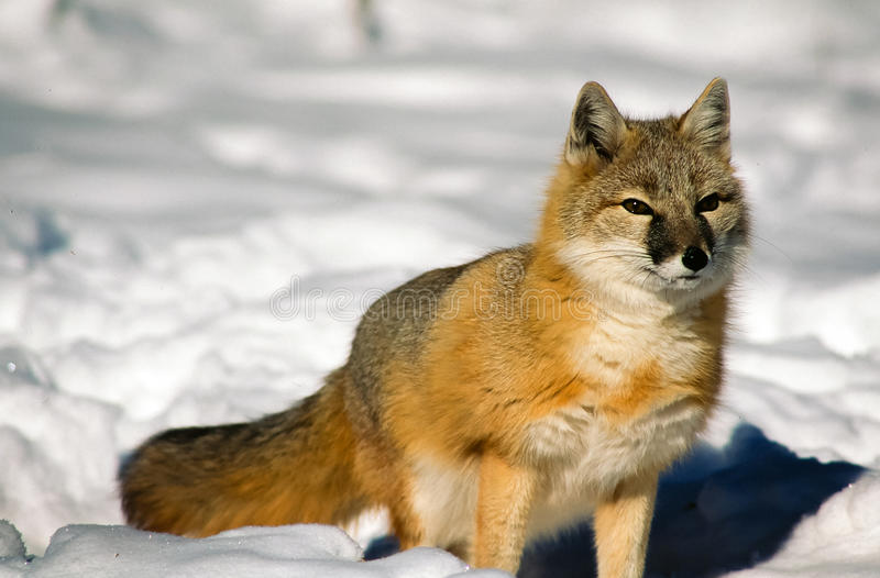 Full shot of Swift Fox in snow looking for prey. royalty free stock photos